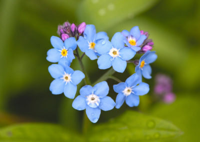 Blue Forget-Me-Not flowers in a heart shape