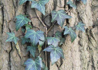ivy-2146857_1920