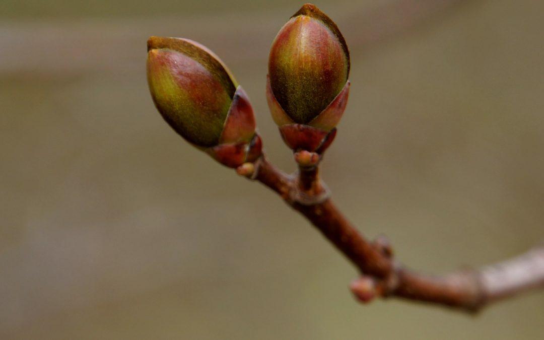 Balades d'hiver: jeunes pousses et vieilles branches